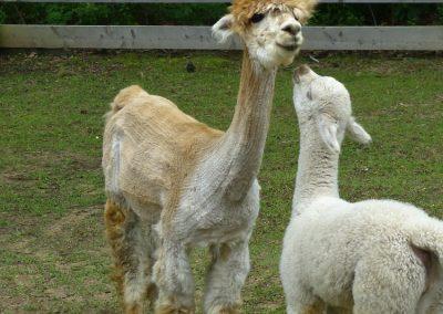 It's Hair Cut Day for the Alpacas